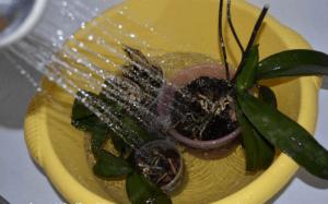 Orhidee-neobhodim-teplyj-dush