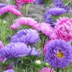 Садовые однолетние цветы: популярные сорта
