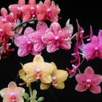 Орхидея Дендробиум нобиле – благородная красавица
