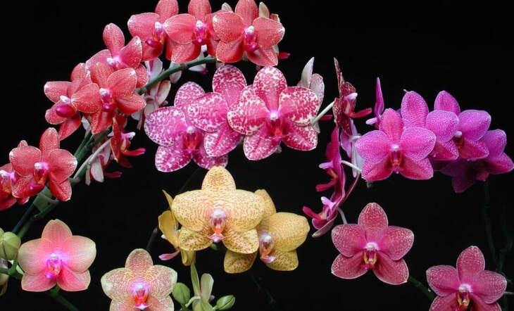 Орхидея является многолетним растением
