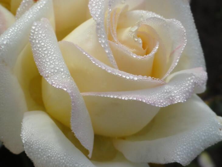 В воду, приготовленную для роз, можно добавлять уголь