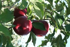 Яблоня может достигать 10 метров