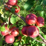 Яблоня Лобо: посадка, уход и болезни