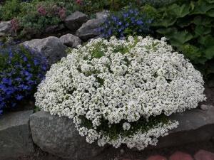 Алиссумом часто украшают альпийские горки