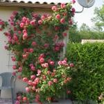 Плетистые розы. Посадка и уход за этими красавицами