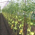 Что можно выращивать в теплице: все самое интересное