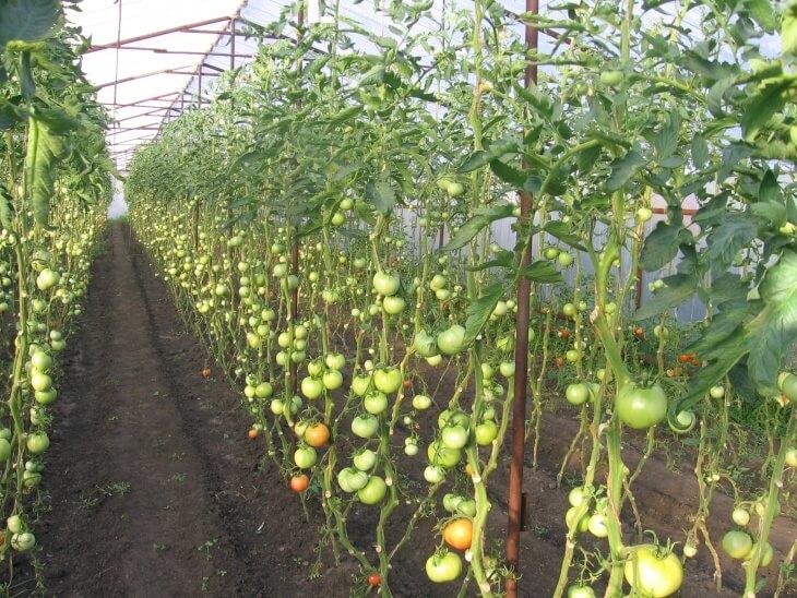 В теплице можно вырастить богатый урожай