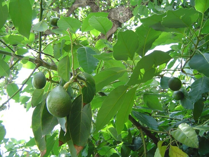 Авокадо относится к тропическим растениям