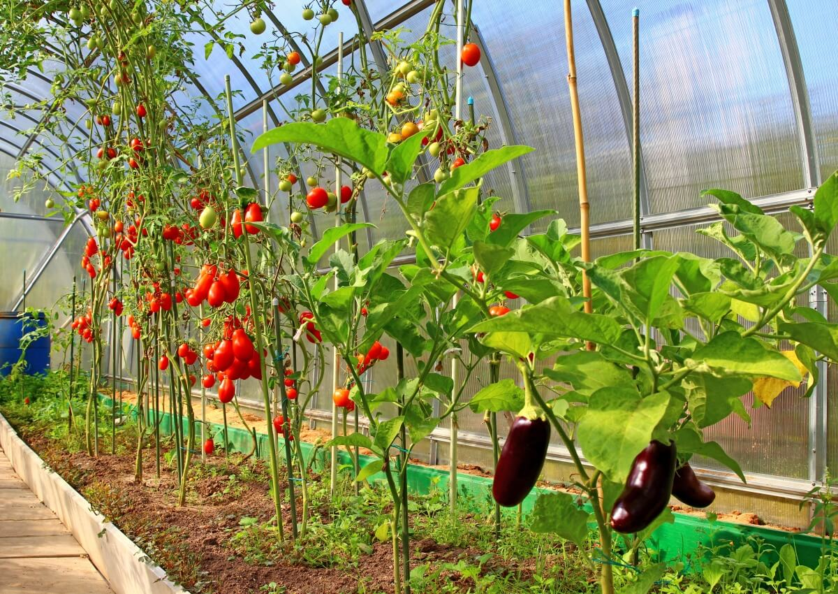 Выращивание баклажана в теплице из поликарбоната