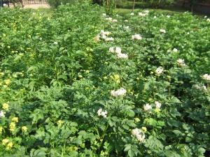 Очищать посадки картофеля от сорняков лучше всего вручную