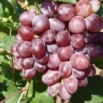 Сорт винограда Виктория: особенности выращивания и уход