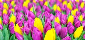 За три недели до наступления срока нужно перенести цветы в теплицу