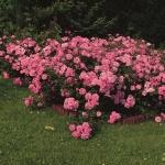 Почвопокровные розы: сорта, выращивание и применение