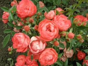 Многие сорта роз морозоустойчивые