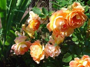 """Чаще всего у сорта """"Фиона"""" встречается пышное цветение"""