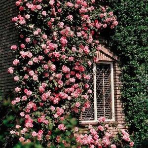 Плетистыми розами можно украшать дома и беседки