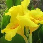 Цветы канны: все об этом чуде природы