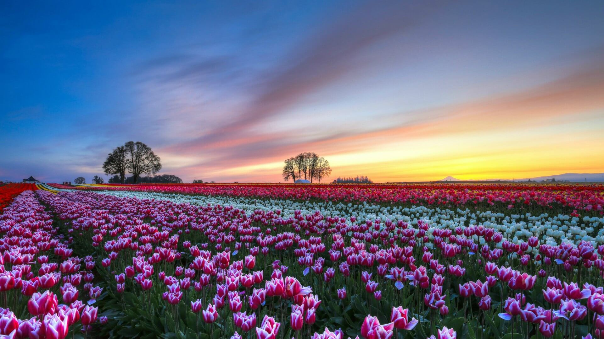 Выращиваем тюльпаны в теплице
