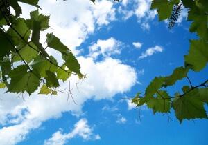 Самое главное в выращивании винограда - распознать заболевание вовремя