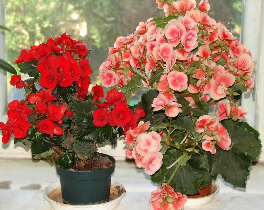 Посев бегонии семенами – секреты успешного цветоводства