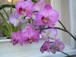 Фаленопсис Люддеманна имеет фиолетово-розовый цвет