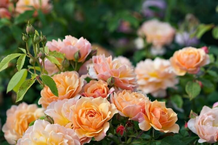 Цветение розы