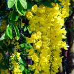 Бобовник или «Золотой дождь»: особенности выращивания и ухода