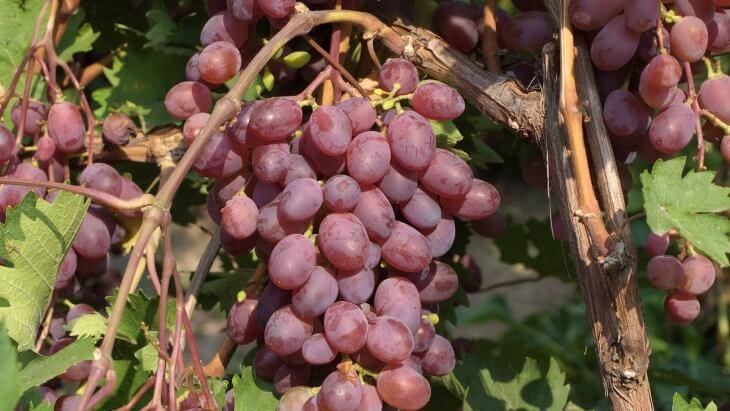 Самое главное не затенять кустик винограда