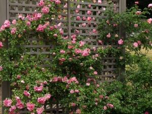 Следите за появлением вредителей на розе