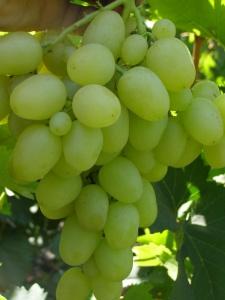 Виноград Надежда Аксайская – изысканный вкус и высокий урожай при минимальном уходе