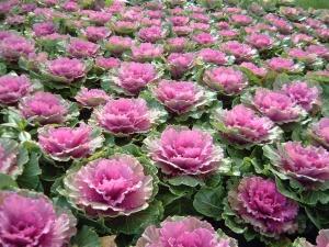 Капуста декоративная – сорта и гибриды для эффектных цветников