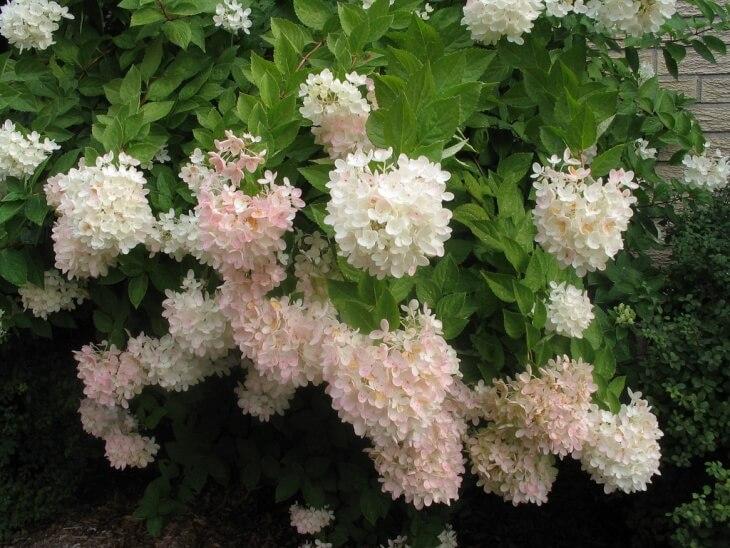 У каждого сорта гортензии есть своя особенность в соцветии