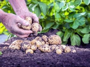 Не нужно поливать картофель часто