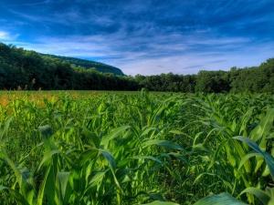 Изначально наши предки называли растение турецкой пшеницей