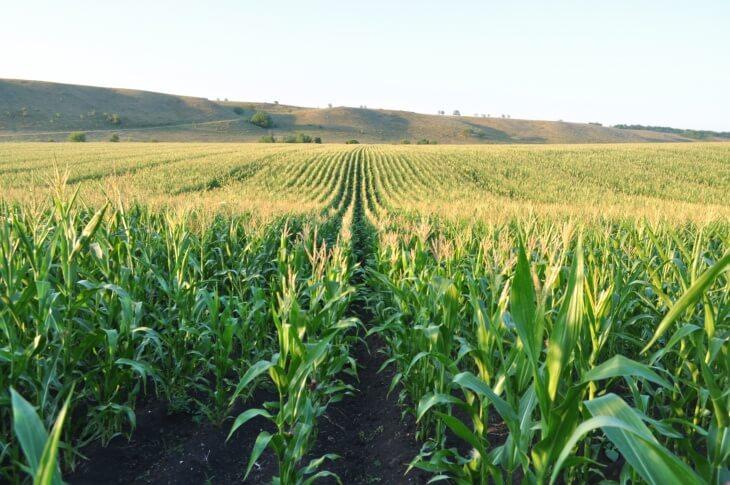 Кукуруза является однолетним растением