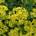 Алиссум многолетний – украшение клумб и альпийских горок