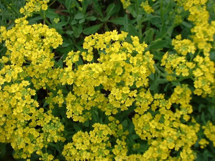 Многим садоводам он известен под названием бурачок или лобулярия