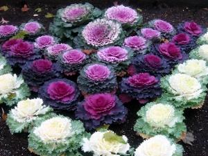 Некоторые виды декоративной капусты благодаря рассеченным листьям напоминают морские водоросли или кораллы