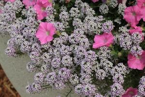 Растение может достигать 35 см