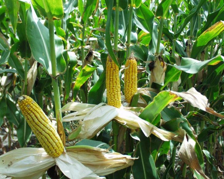 Перед посадкой кукурузы необходимо подготовить почву