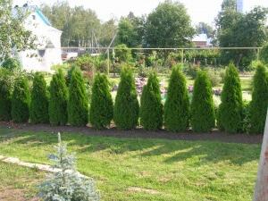 Быстрорастущие растения для живой изгороди: основные виды и их описание
