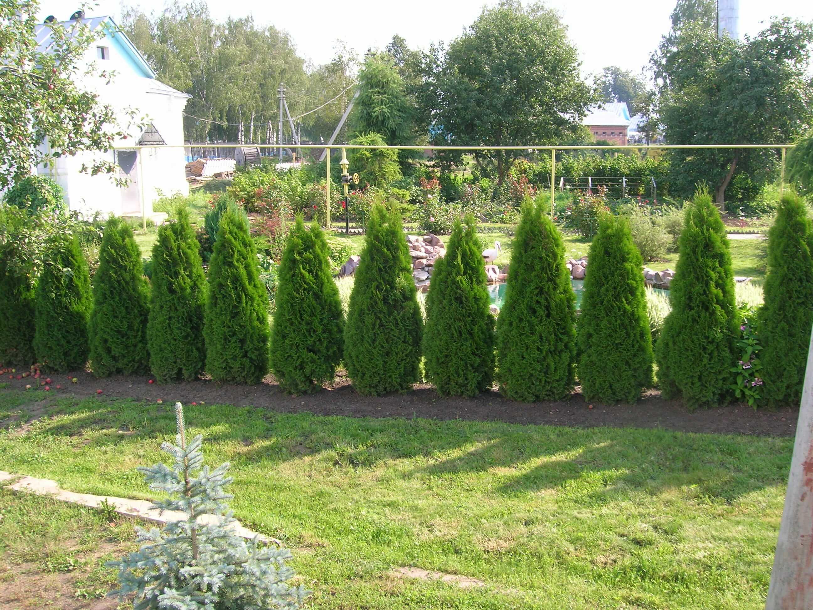 Быстрорастущие растения для живой изгороди — основные виды и их описание