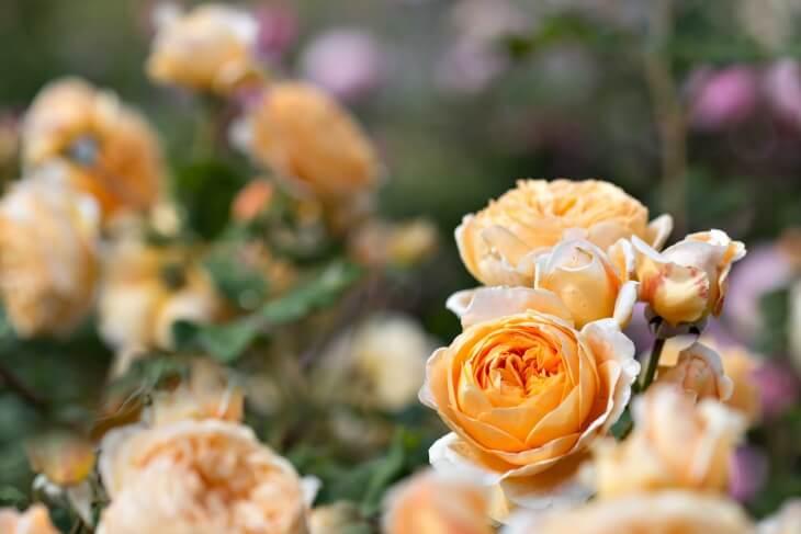 Больше всего нужно поливать розы во время образования почек