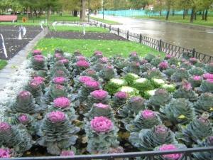 Высадку молодых растений в открытый грунт начинают в конце апреля