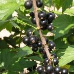 Посадка смородины весной, а также ее размножение