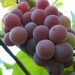 Как выбрать элитные сорта винограда для своего сада