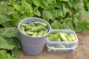 Некоторые сорта огурцов подойдут только применения в салаты