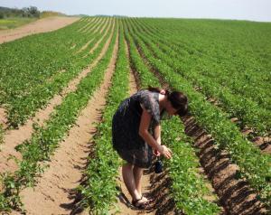 Японский метод посадки картофеля