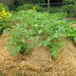 Как вырастить картофель под соломой и получить хороший урожай