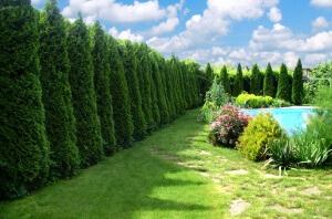 Хвойные деревья будут служить отличной изгородью зимой